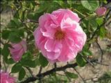 خواص داروییگل سرخ rose