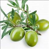 خواص داروییبرگ زیتون olive page