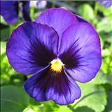 خواص داروییبنفشه،بنفشه معطر violet