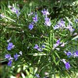 خواص دارویی رزماری (اکلیل کوهی) Rosmarinus officinalis